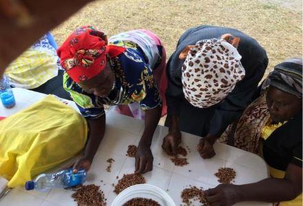 Kaffehøst_Kenya